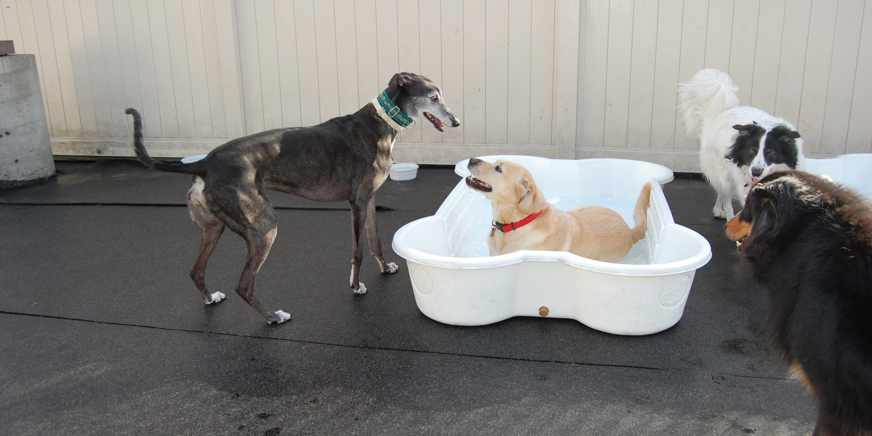 yellow lab in pool with other dogs