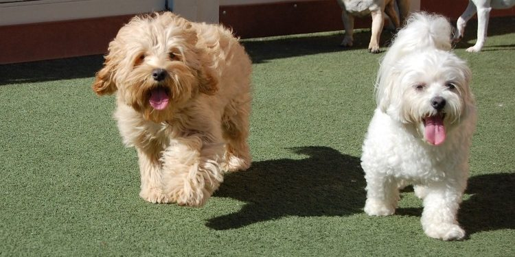 Two happy dogs playing