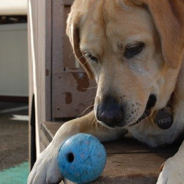 Indo lab playing with ball